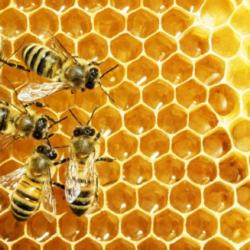 Las abejas no comen miel